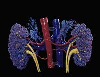 ヒトの腎臓と副腎 赤い樹脂で動脈、青い樹脂で静脈を表している