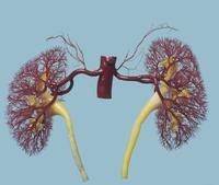 ヒトの腎臓と副腎動脈のレジンキャスト複製 前面