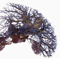 ヒトの肝臓と胆嚢のレジンキャスト複製 上から 32268000748| 写真素材・ストックフォト・画像・イラスト素材|アマナイメージズ