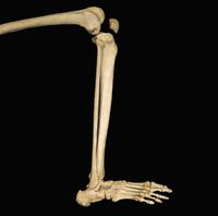 ヒトの下腿骨 側面図 32268000759| 写真素材・ストックフォト・画像・イラスト素材|アマナイメージズ