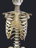 ヒトの胸骨、肋骨、脊椎骨、鎖骨 前面から