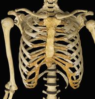 ヒトの胸骨、肋骨、鎖骨 前面から 32268000767| 写真素材・ストックフォト・画像・イラスト素材|アマナイメージズ