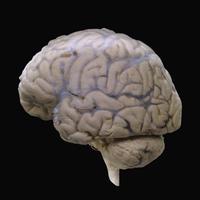ヒトの脳の側面 くも膜と外大脳静脈