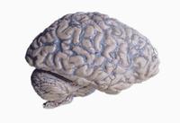 ヒトの大脳と小脳 くも膜の下の血管