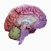 ヒトの左脳の矢状断面 32268000776| 写真素材・ストックフォト・画像・イラスト素材|アマナイメージズ