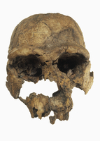 ホモ_エレクトスの頭蓋骨 1975年にケニアで発見される 推定年齢170万歳である 32268000779| 写真素材・ストックフォト・画像・イラスト素材|アマナイメージズ