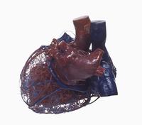 ヒトの心臓と血管のレジンキャスト複製 背面から 左心房中心
