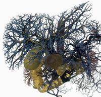 ヒトの十二指腸、胆管、血管 レジンキャスト複製