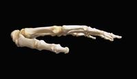 ヒトの手と手首