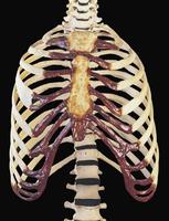 ヒトの胸腔、肋骨、胸骨、脊柱 正面から