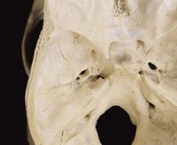 ヒトの頭蓋底の内面 上から