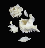 ヒトの前頭骨