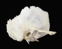 ヒトの右側頭骨 側面図