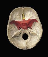 ヒトの頭蓋骨の蝶形骨(赤) 下から