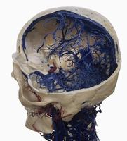 ヒトの頭蓋骨 動脈(赤)と静脈(青)