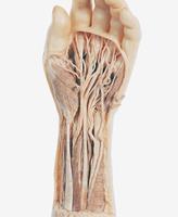 ヒトの手の解剖 32268000841| 写真素材・ストックフォト・画像・イラスト素材|アマナイメージズ