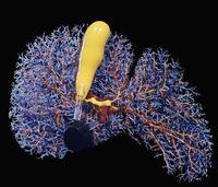 ヒトの肝臓(青)と胆嚢(黄色) 32268000850| 写真素材・ストックフォト・画像・イラスト素材|アマナイメージズ