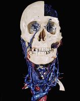 ヒトの頭骨と首 動脈(赤)と静脈(青)