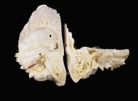 ヒトの右頭骨と耳