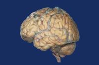 ヒトの脳の側面