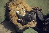 アフリカスイギュウを捕食するライオン