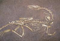コエロフィシスの化石 三畳紀後期 2億3000年前 32268001302| 写真素材・ストックフォト・画像・イラスト素材|アマナイメージズ