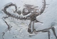 コンプソグナトゥスの化石 ジュラ紀 1億5200万年前  約60cmの小さな恐竜