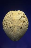 ウニの化石 (Lovenia forbesi) 中新世後期