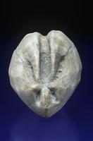 ウニの化石 (Schizaster) 中新世
