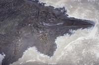 魚竜の化石 (Stenopterygius quadricissus) ジュラ紀 1億8500万年前