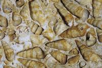 カタツムリの化石 (Turritella) 始新世から白亜期後期