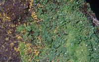 バライト(重晶石)の中の緑鉛鉱の結晶 鉛の鉱石