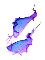 膣トリコモナス SEM X12000 32268001590| 写真素材・ストックフォト・画像・イラスト素材|アマナイメージズ