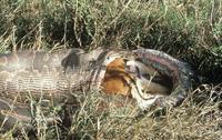 インパラを捕食するアフリカニシキヘビ