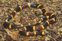 サンゴヘビの仲間