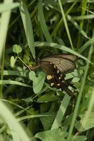 ジャコウアゲハ(ウマノスズクサ) 産卵するメス
