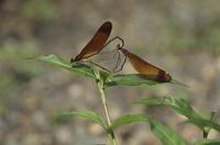 ミヤマカワトンボの交尾 左:オス 右:メス