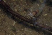 ミヤマカワトンボのメス 潜水産卵