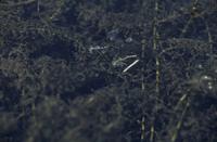 セスジイトトンボ 潜水産卵 左:オス 右:メス