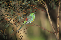 Red-rumped parrot (Psephotus haematonotus) male, South Austr