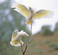 Little corellas Cacatua sanguinea pair, mutual threat displa