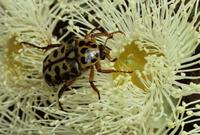 Flower scarab beetle (Polystigma punctata) on Angophora cord 32273000033| 写真素材・ストックフォト・画像・イラスト素材|アマナイメージズ