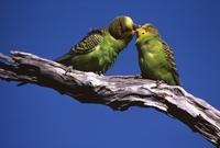 Budgerigar  (Melopsittacus undulatus) Australia, Australia,