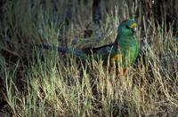 Mulga parrot (Psephotus varius) male, Sunset Mallee, Victori
