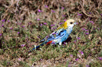 Pale-headed rosella Platycercus adscitus