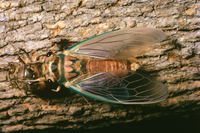 Cicadas Northern Territory, Australia