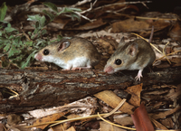Delicate mouse Pseudomys delicatulus Length including tail: