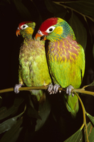 Varied lorikeets (Psitteuteles versicolor) female on left, d