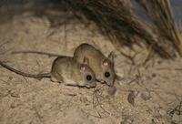 Northern hopping-mice (Notomys aquilo) grows to about 11 cm