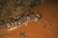 Spinifex hopping-mice (Notomys alexis) large group, Northern